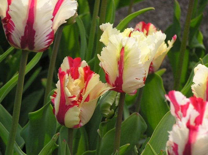 blumenarten tulpe