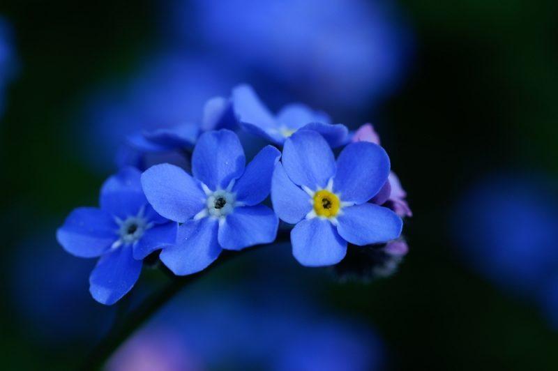 blumenarten vergissmeinnicht schöne blumenbilder
