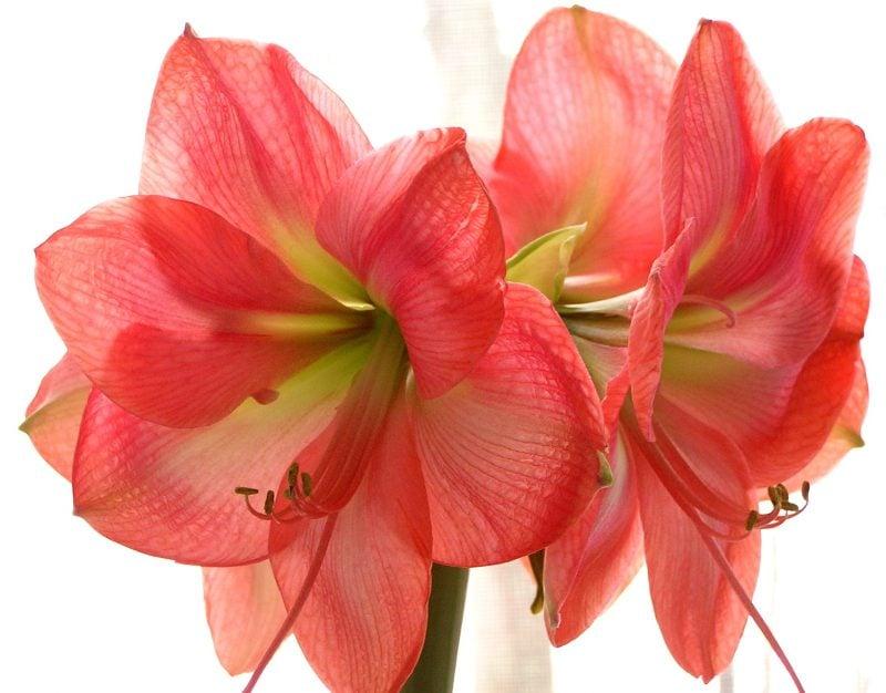 blumenarten amaryllis blumenstrauß bilder