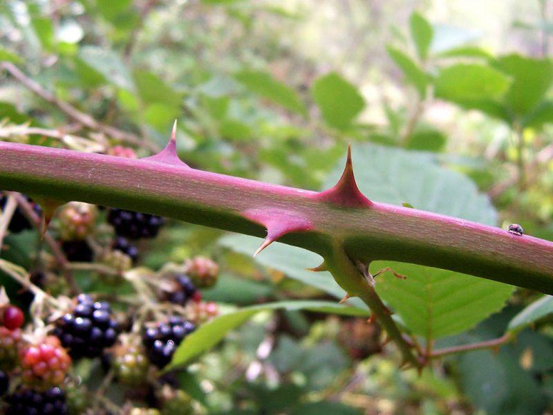 Brombeeren Pflanzen Arten