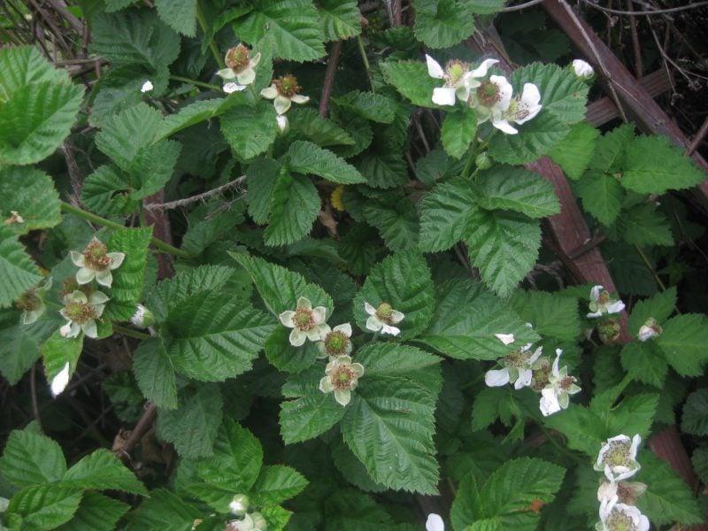 Brombeeren Pflanzen Blüte
