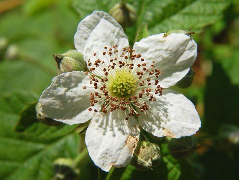 Brombeeren Pflanzen Blüten