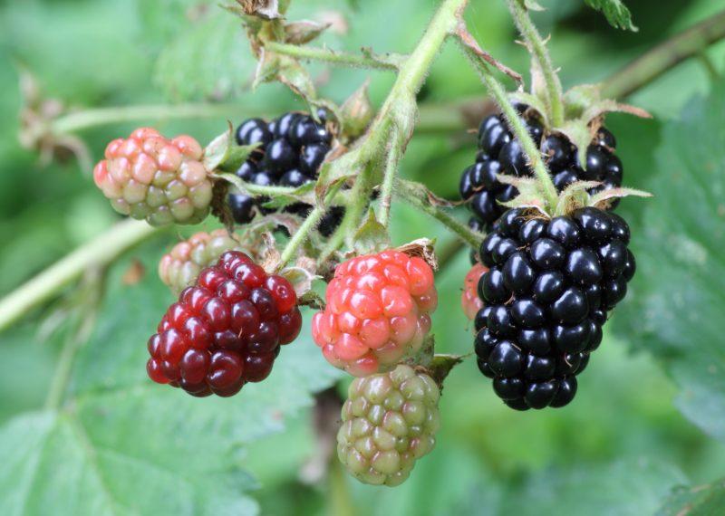 Brombeeren Pflanzen Frucht