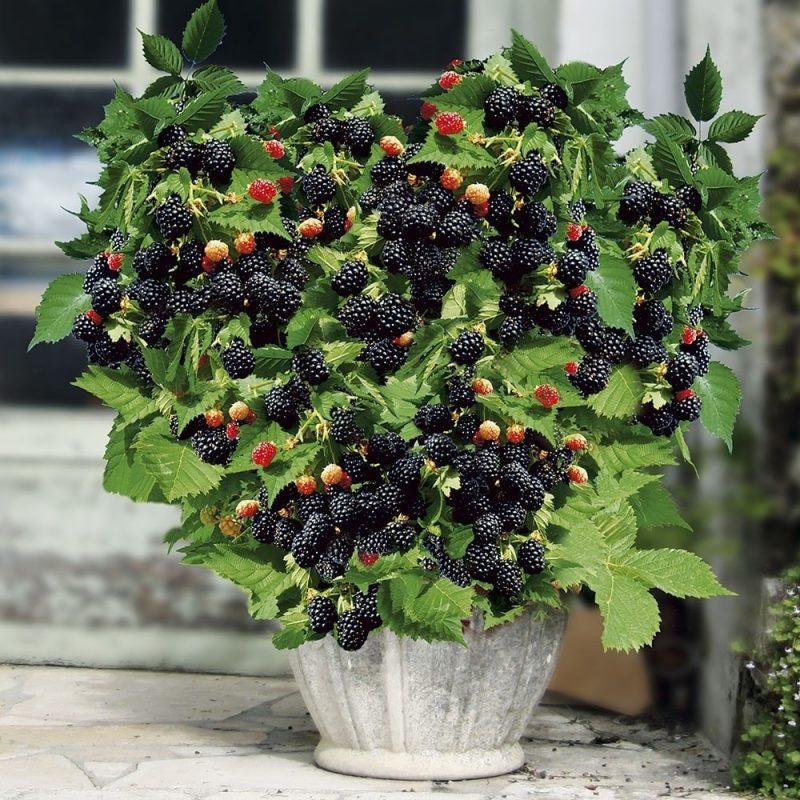Brombeeren Pflanzen im Topf