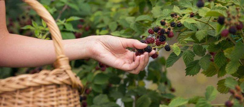 Brombeeren Pflanzen Pflegetipps
