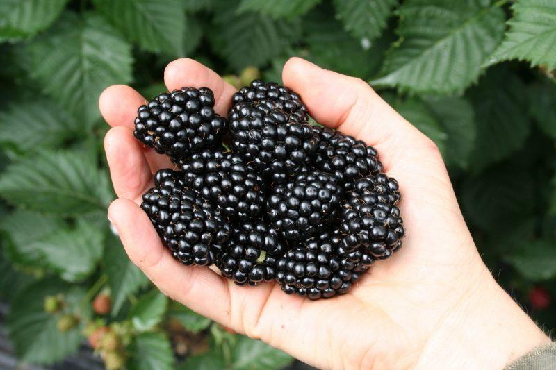Brombeeren Pflanzen Schwarz