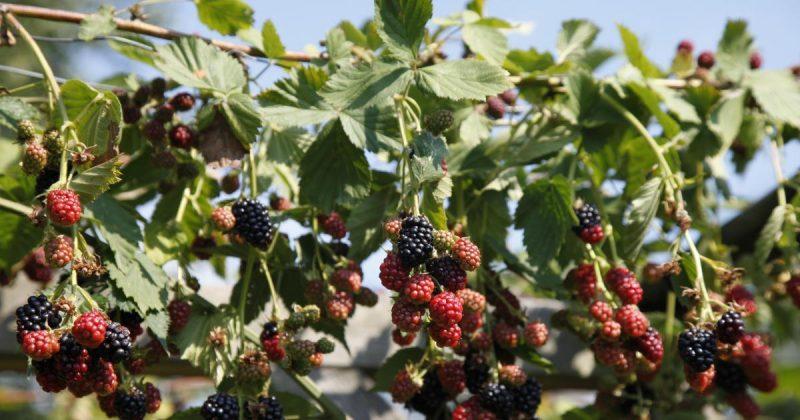 Brombeeren Pflanzen Schwarz und Rot