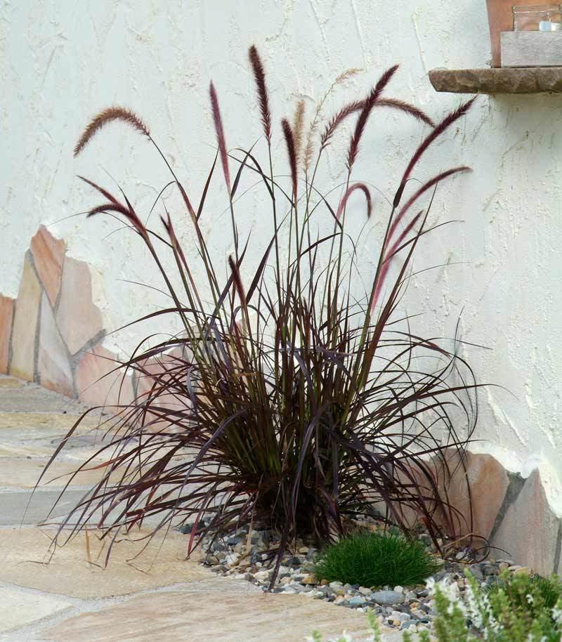 graser pflanzen winterhart