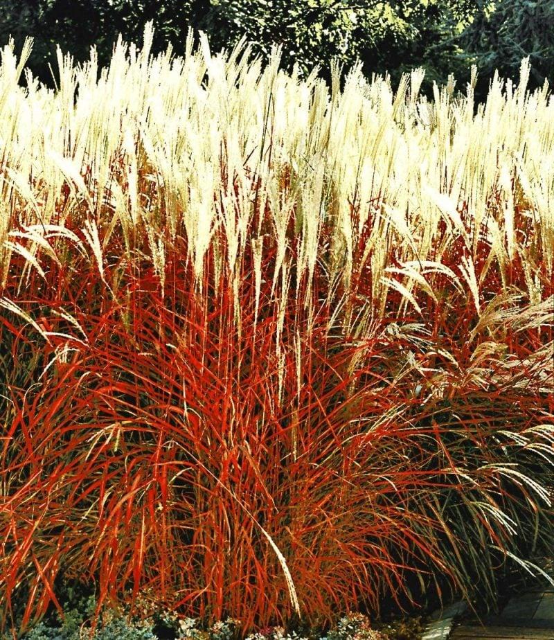 graser pflanzen rot