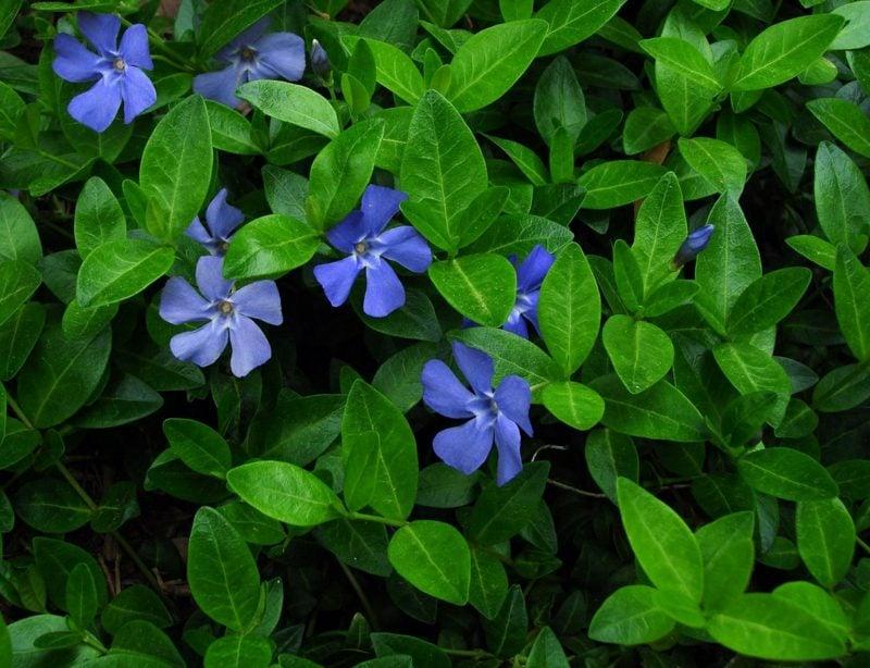 Gartengestaltung immergrüne Bodendecker