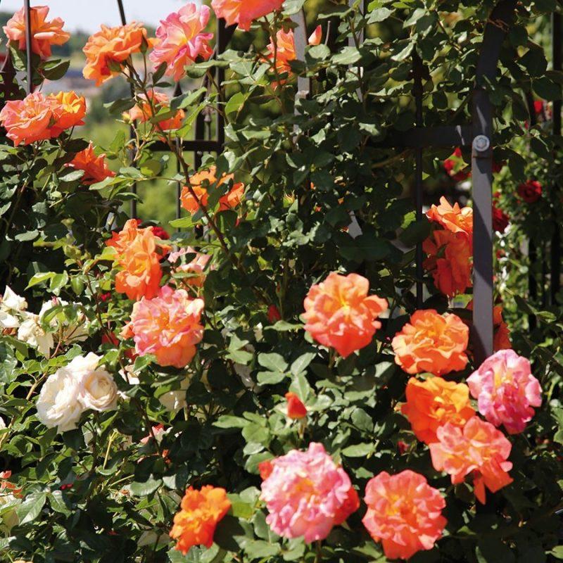Kletterrosen Pflanzen für Garden