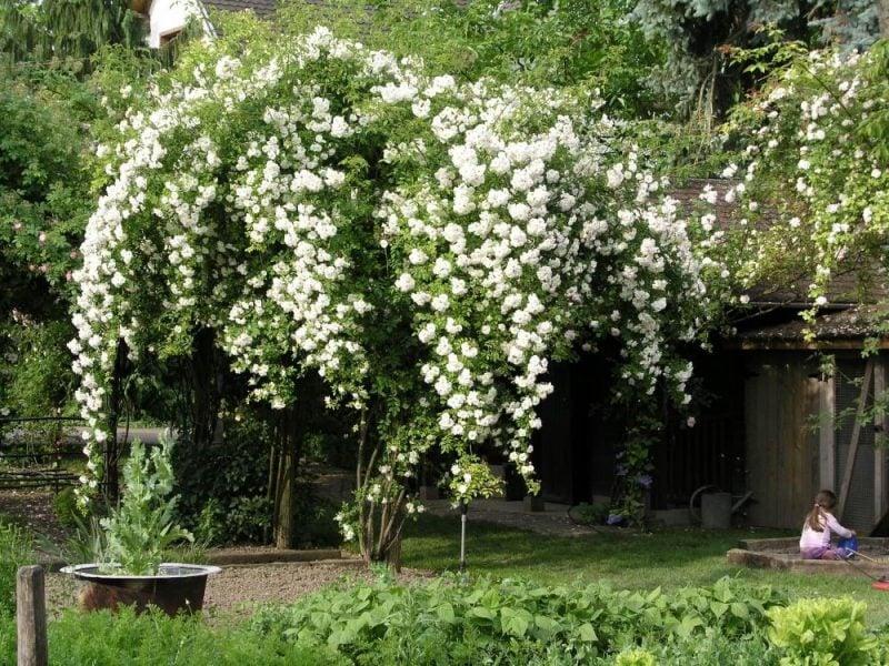 Kletterrosen Pflanzen Weiß