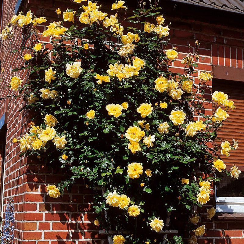 Kletterrosen Pflanzen gelb