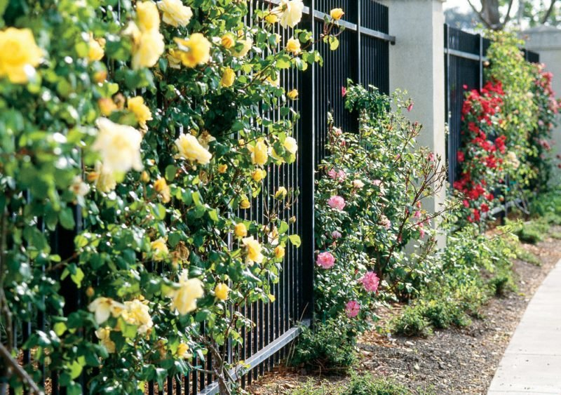 Kletterrosen Pflanzen Pflege