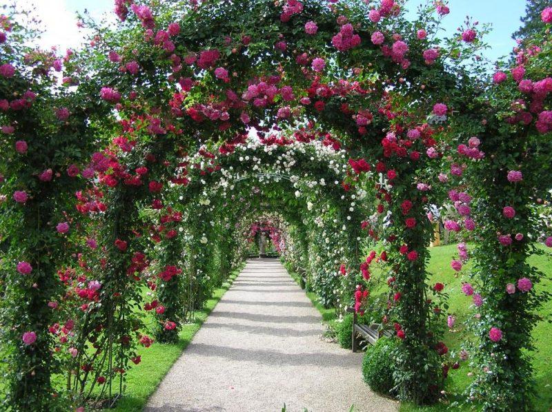 Kletterrosen Pflanzen Rosenbogen