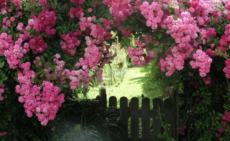 Kletterrosen Pflanzen Rosenbogen aufstellen