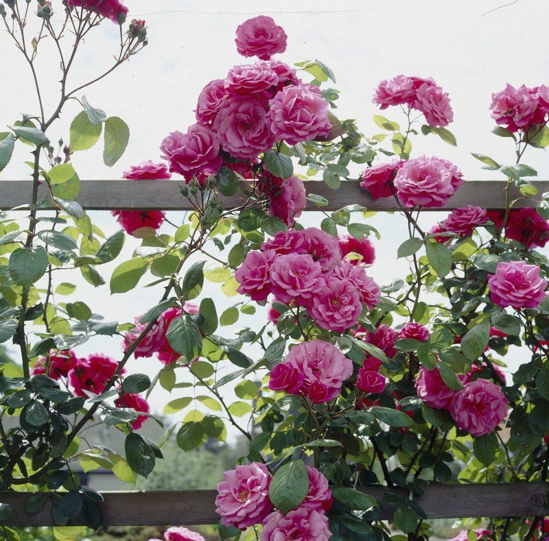Kletterrosen Pflanzen Rosa
