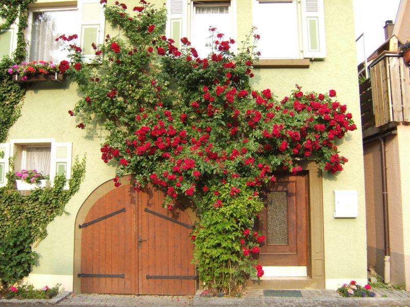 Kletterrosen Pflanzen vor dem Haus