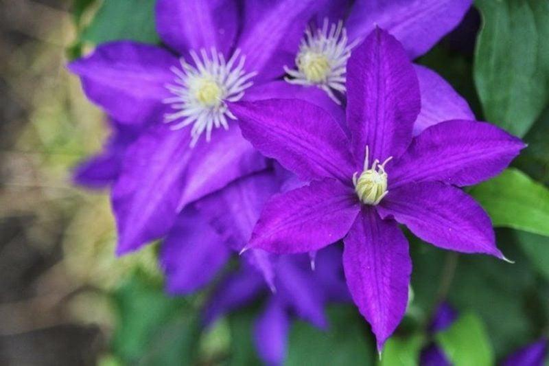 Clematis pflegeleichte Kletterpflanzen