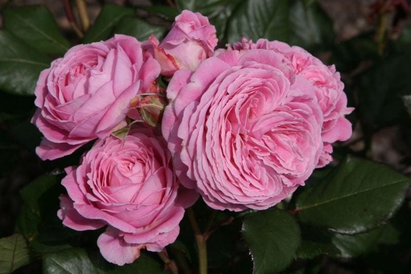 Rosenarten Garten
