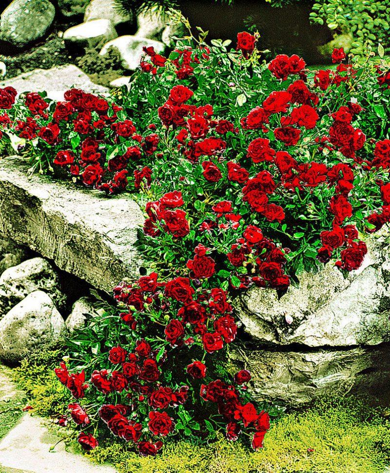 Rosenarten Bodendeckerose
