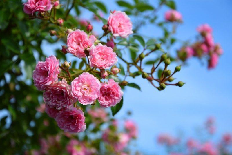 Rosenarten Bodendeckerrose