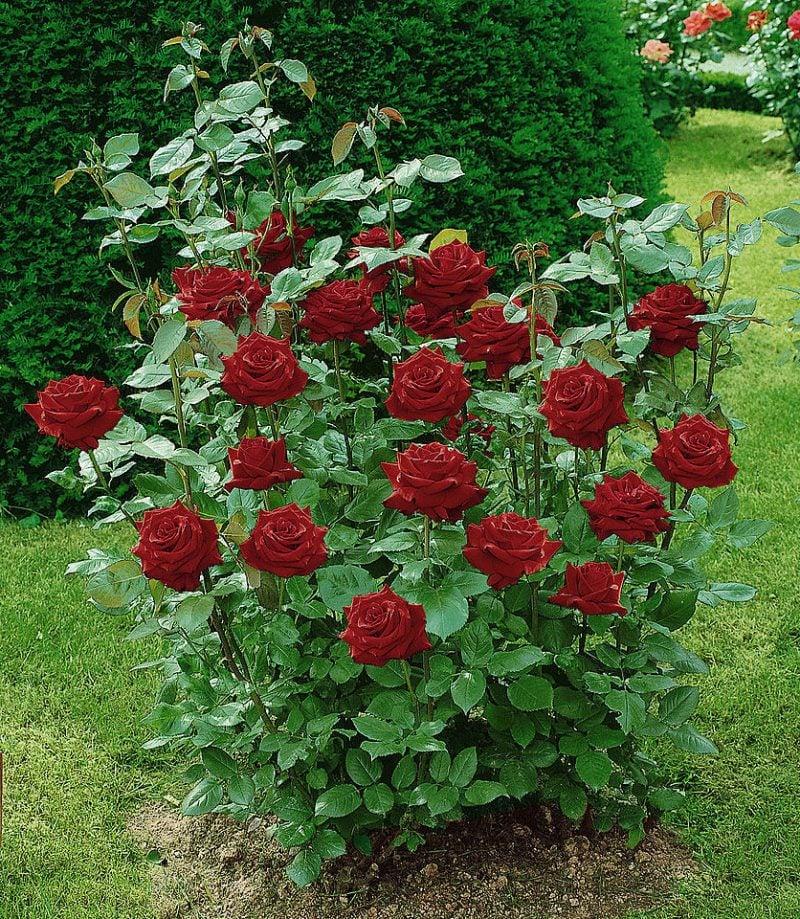 Rosenarten Edelrosen