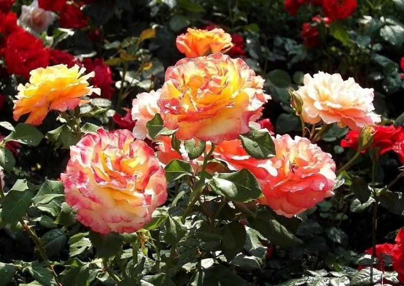 Rosenarten Farbe