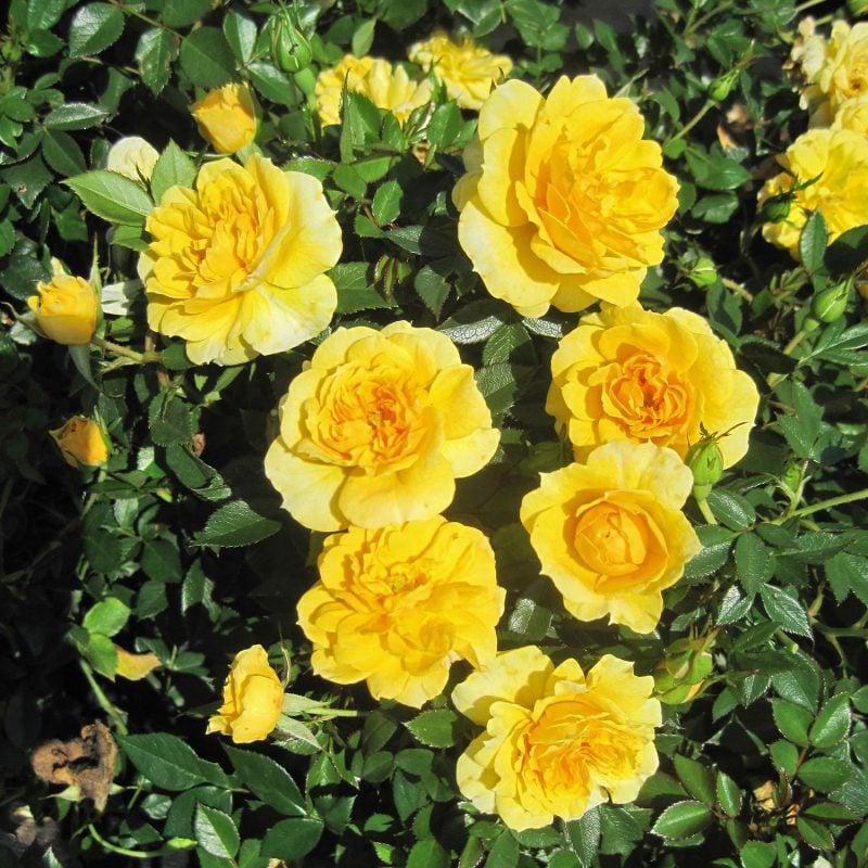 Rosenarten Gelb