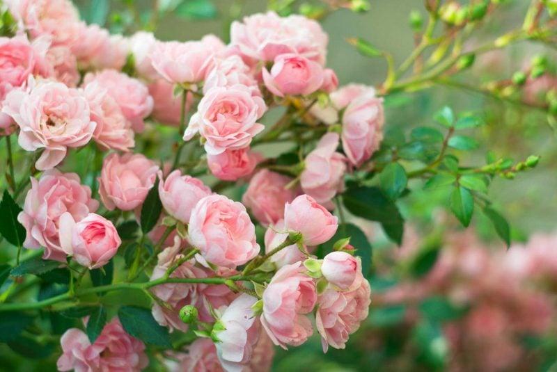 Rosenarten im Garten