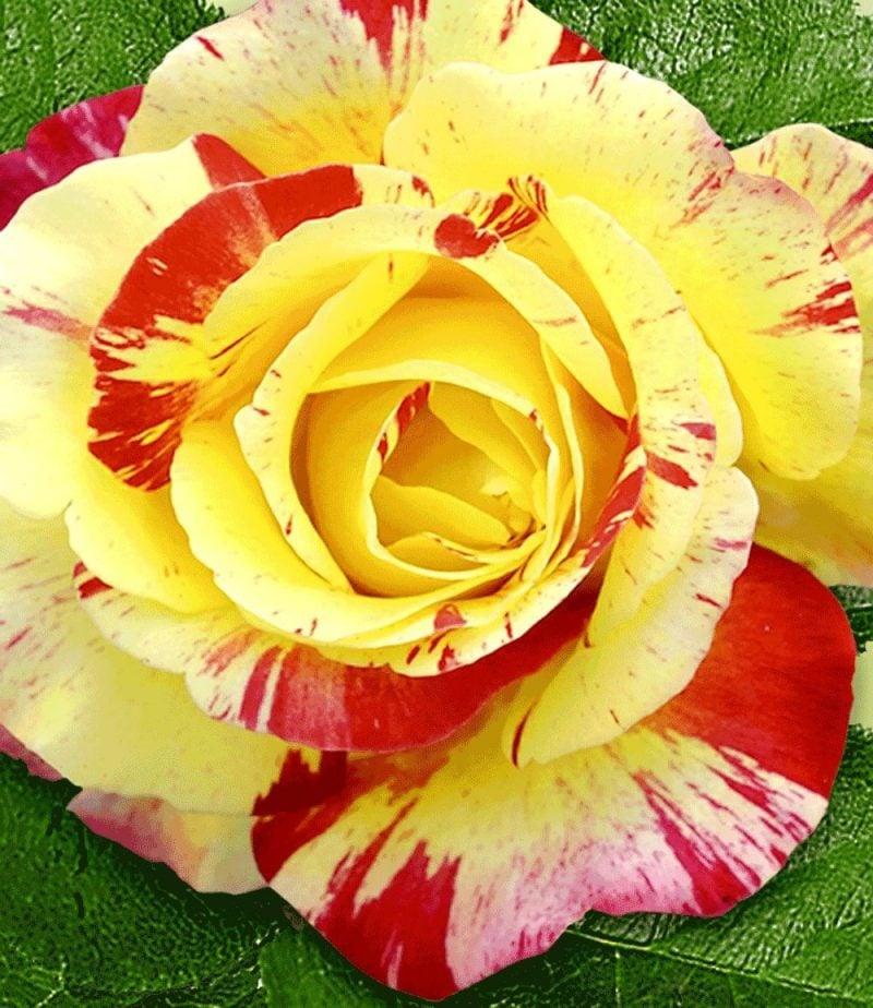Rosenarten Malerrosen