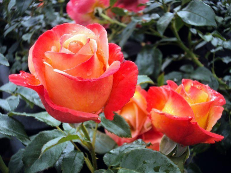 Rosenarten Orangen Rosen