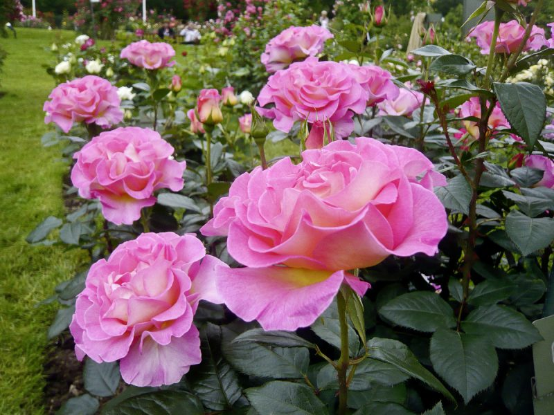 Rosenarten Pink