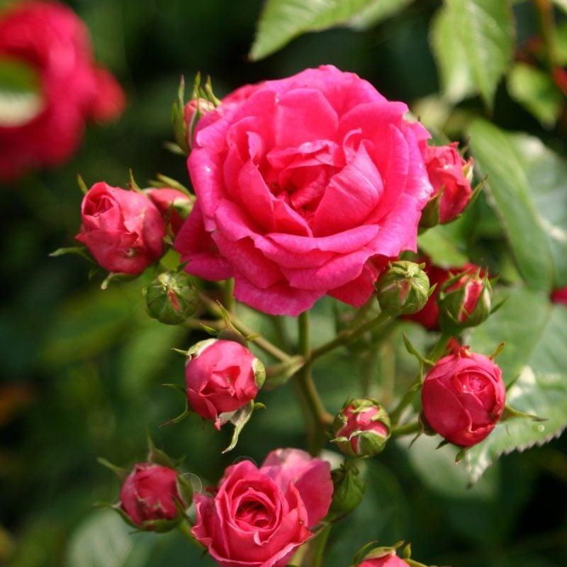 Rosenarten Strauchrosen