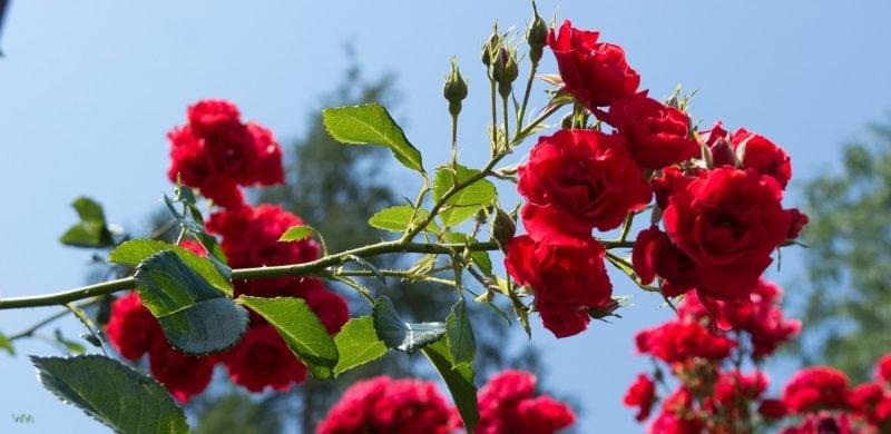 Rosenarten Strauchrose