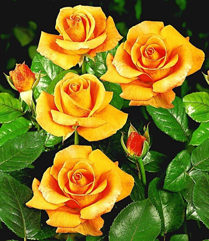 Rosenarten Strauchrosen Gelb