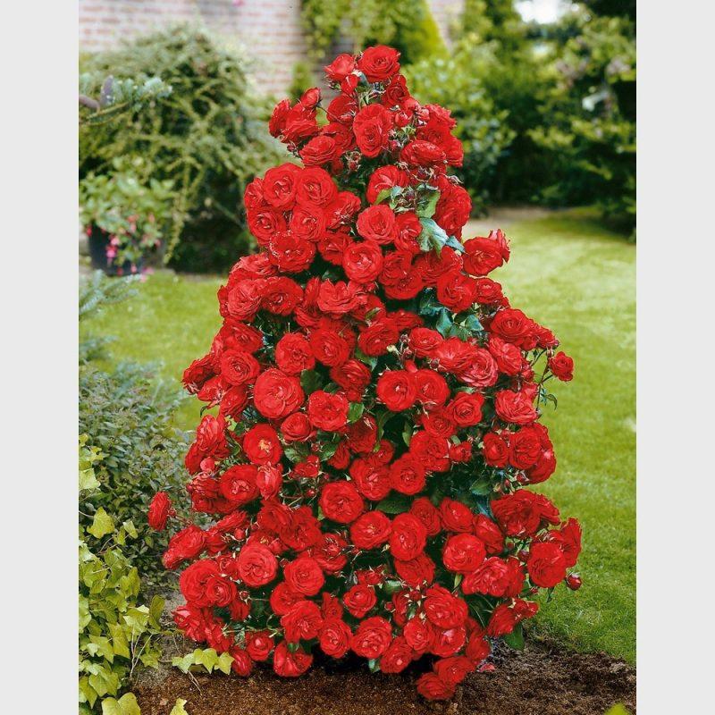Romantik im garten: rosenarten in der Übersicht   garten   zenideen