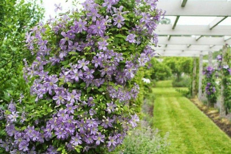 Clematis Arabella lila Blühten