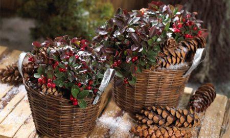 fröhliche winterharte balkonpflanzen