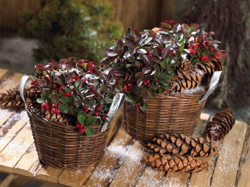 winterharte balkonpflanzen 23 lebendige vorschl ge f r den grauen winter balkon deko. Black Bedroom Furniture Sets. Home Design Ideas