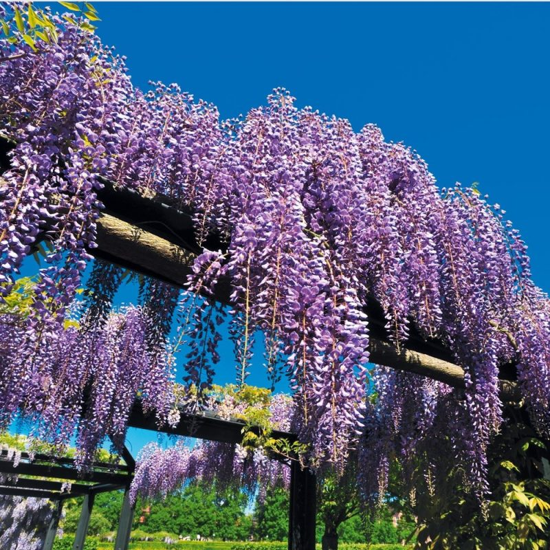 winterharte balkonpflanzen lila