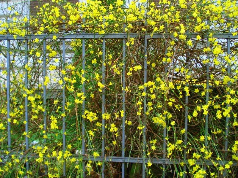 winterharte balkonpflanzen gelb