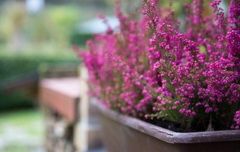 winterharte balkonpflanzen bunt