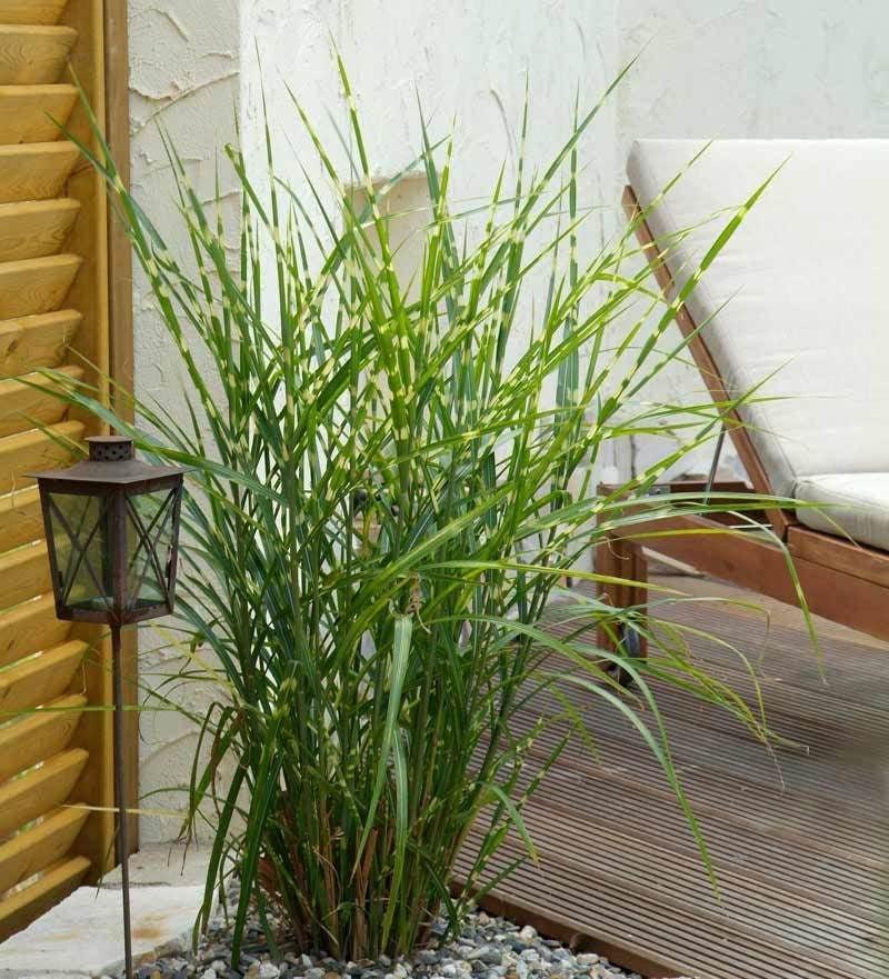 winterharte balkonpflanzen 23 lebendige vorschl ge f r. Black Bedroom Furniture Sets. Home Design Ideas