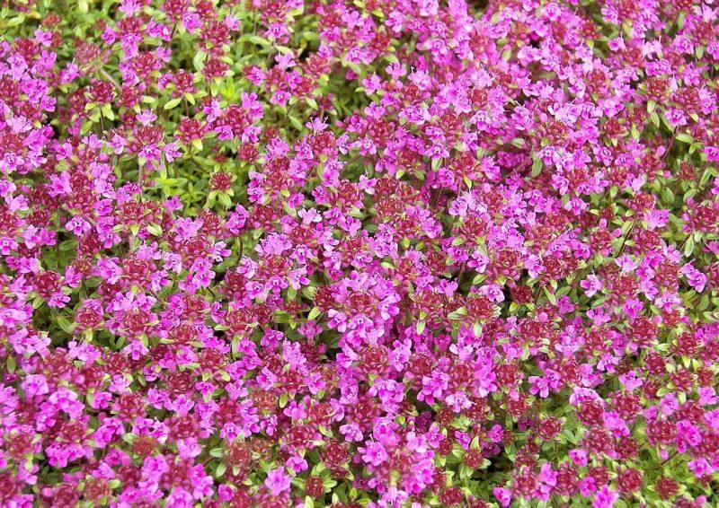 Polsterstauden rosa Blühten