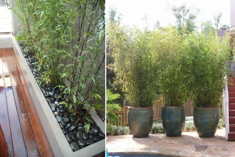 bambus im kübel gross