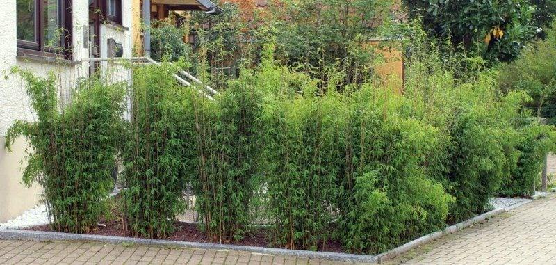 bambus im kübel augezeichnet