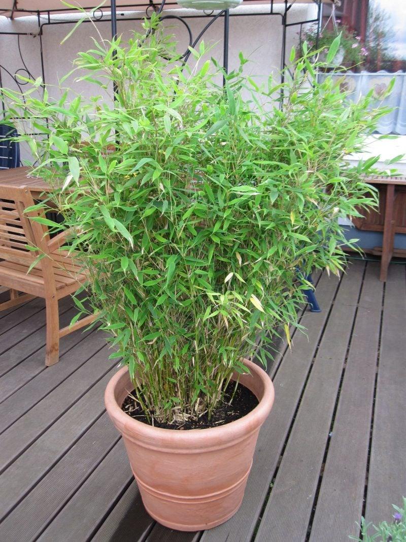 bambus im kübel online bestellen