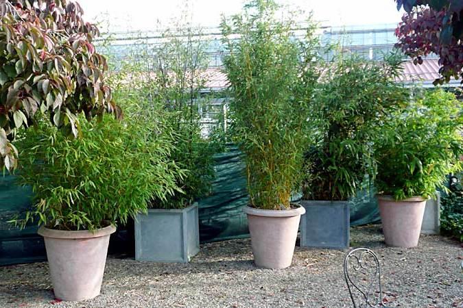 bambus im kübel verkaufen