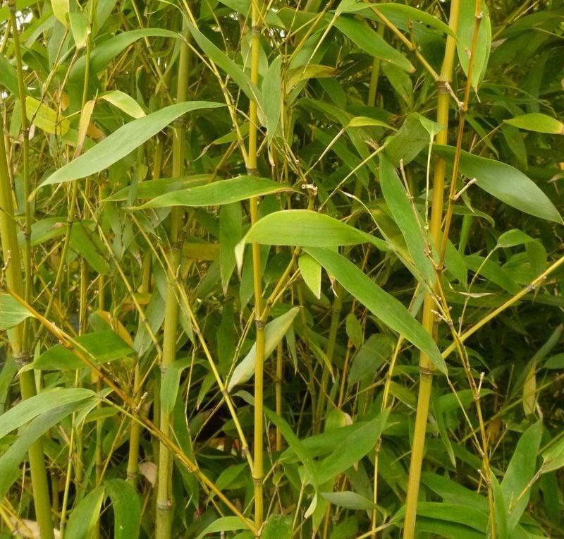 bambus im kübel grun